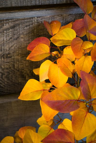 autumn-lilac1