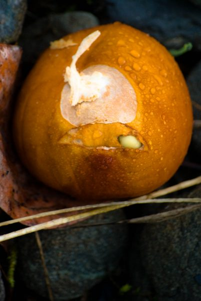 dewy-buckeye