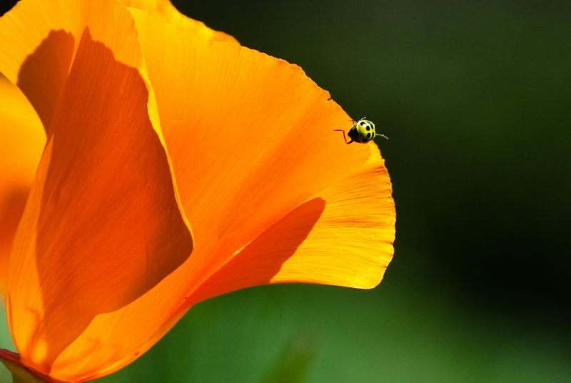 cucumber-beetle-and-poppy