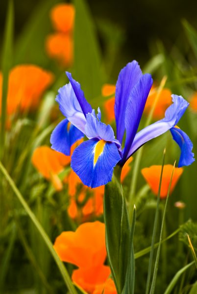 dutch-iris-and-poppies