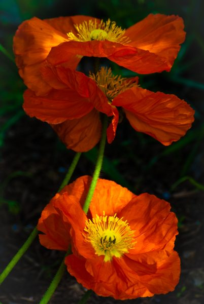sun-on-poppies