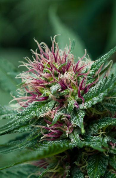 weed1